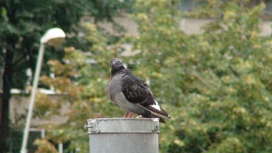 Porumbel in ploaie1