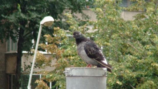 Porumbel in ploaie2