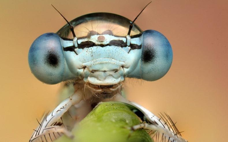 cap de insectă